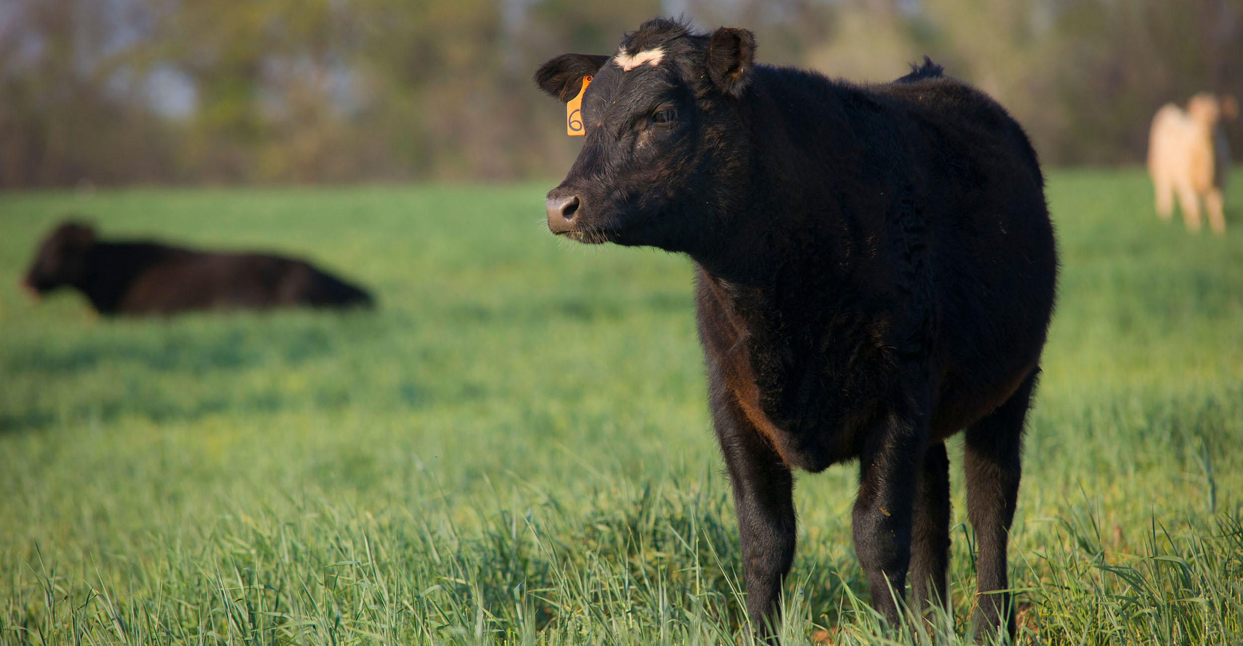 Photo of cow on wheat pasture.