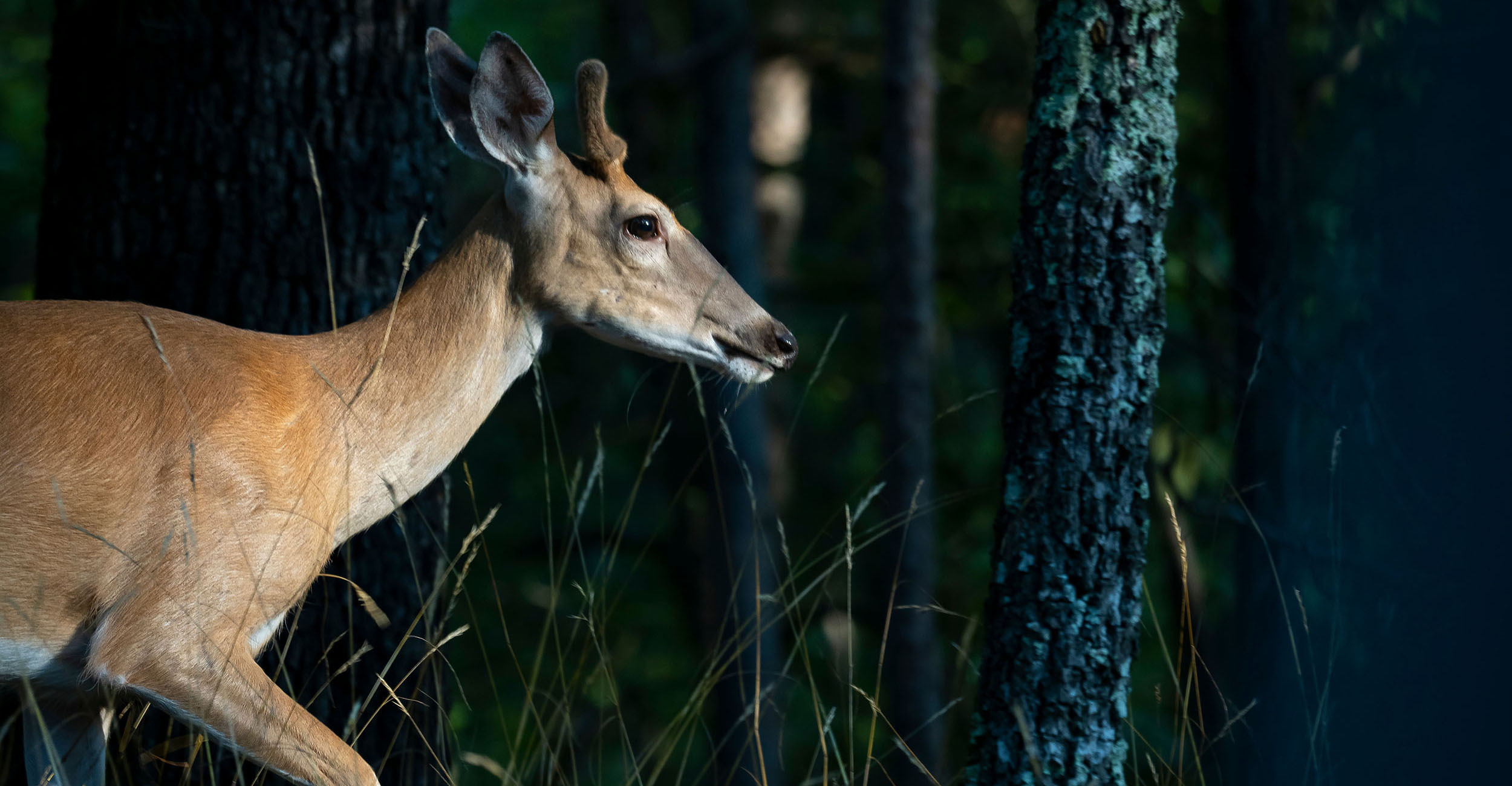 Photo of a deer moving through an area where woodlands meeting open fields.
