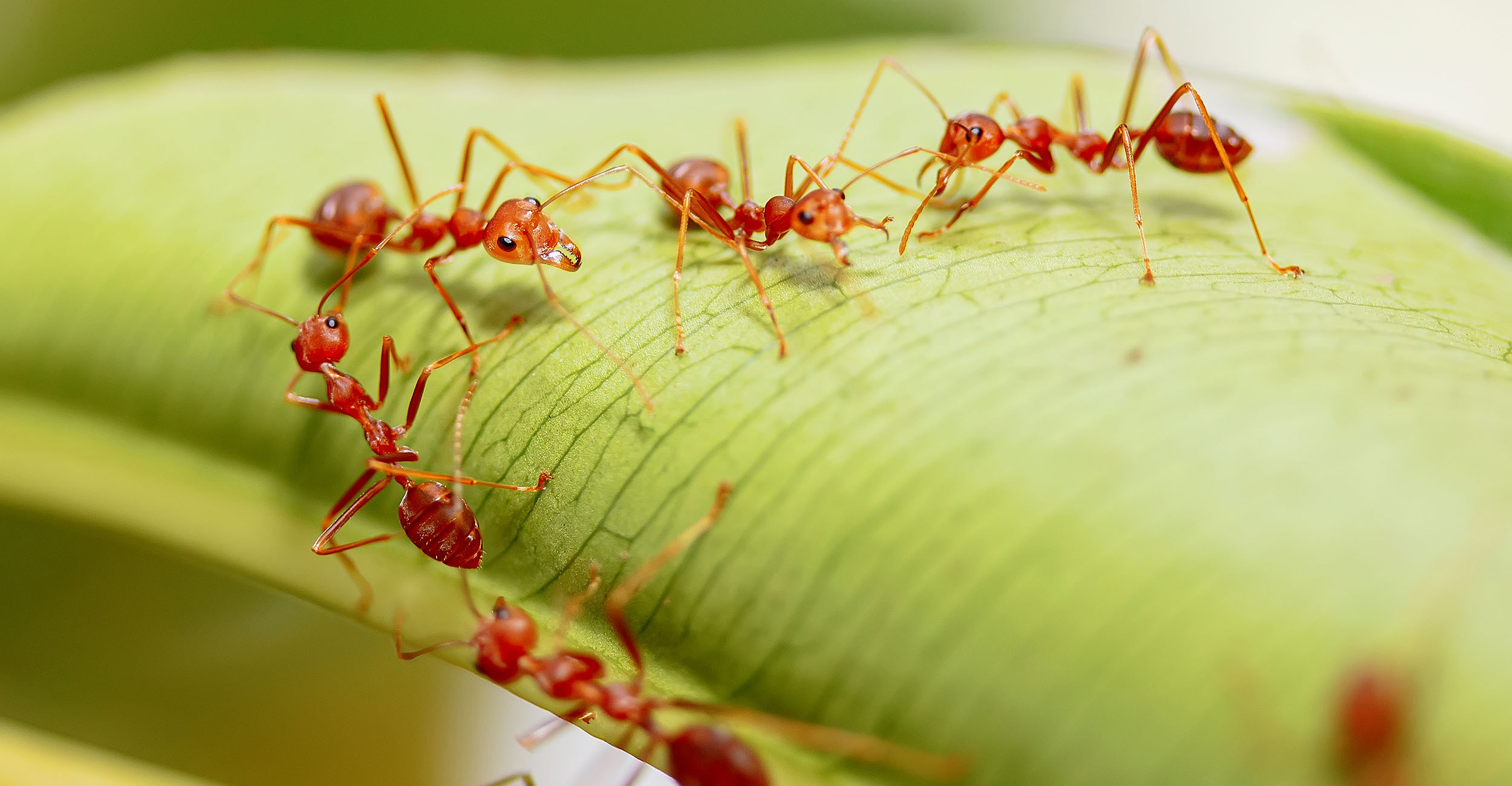 Photo of red imported fire ants linking up to crawl over a plant.