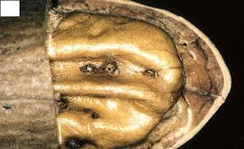 Black spot on a pecan nut