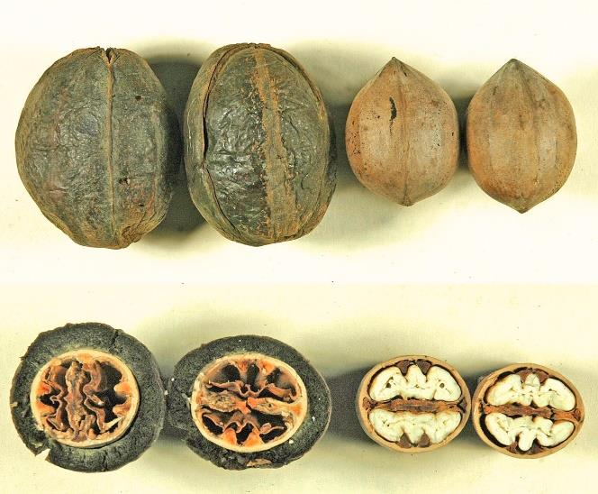 Pecans cut in half to show the sticktights