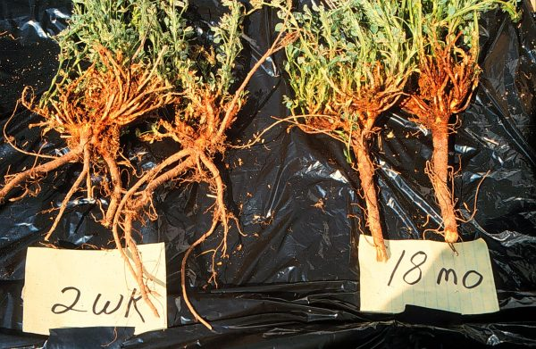 Dead taproots from alfalfa plants.