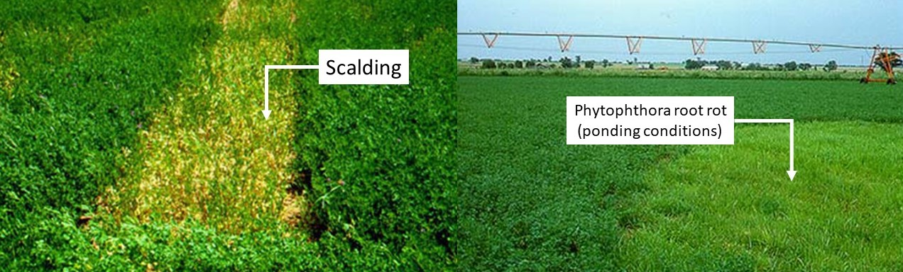 Alfalfa scalding (left) and phytophthora root rot disease (right) due to water logging conditions