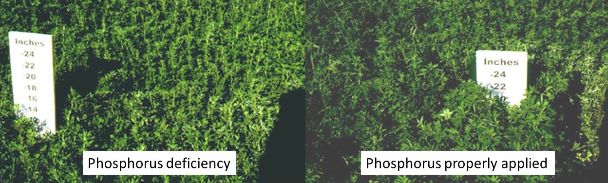 Alfalfa growth response to phosphorus fertilization