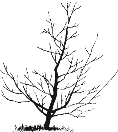 Graphic showing shape of tree
