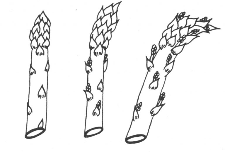 Graphic of asparagus spears.