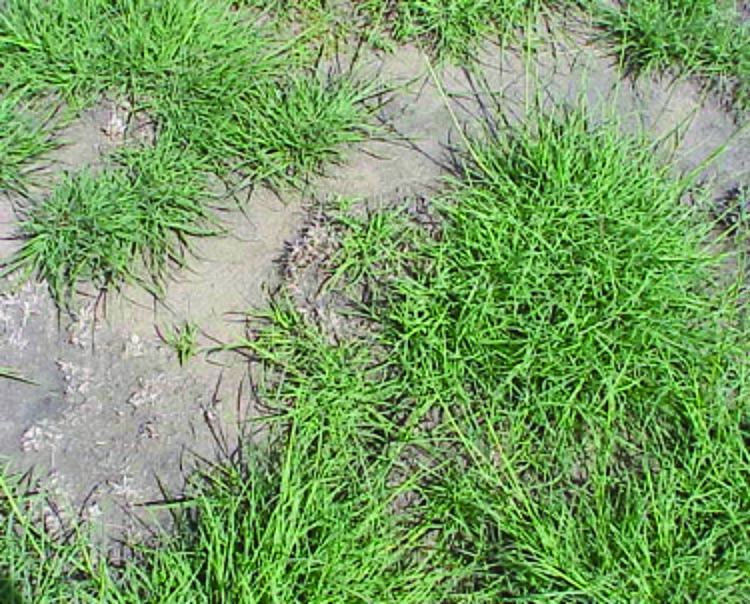 Weeping lovegrass pasture with damage following emergence.