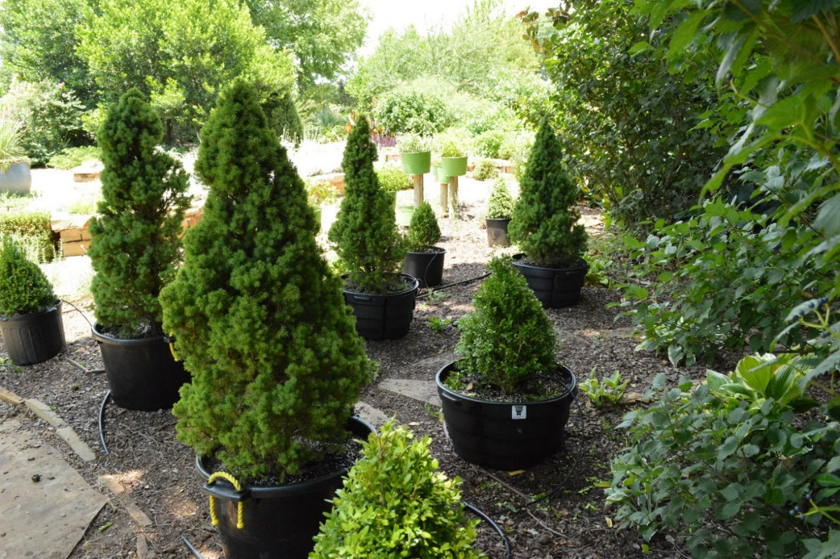 Shrubbery in pots prior to planting