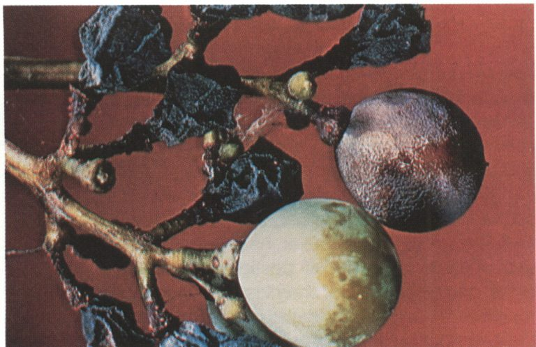 Shriveled, black, infected grapes (mummies) covered with sexual fruiting bodies of the black-rot fungus.