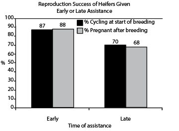 Impact of early or late assistance in subsequent rebreeding performance of first calf heifers