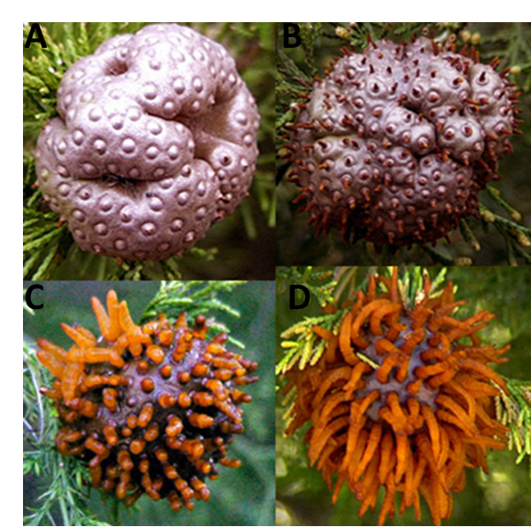 Comparison of young galls on the cedear bear circular depressions and when galls absorb moisture growing orange telial horns.