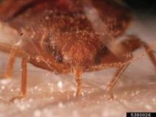 A bed bug feeding with a needle-like beak.