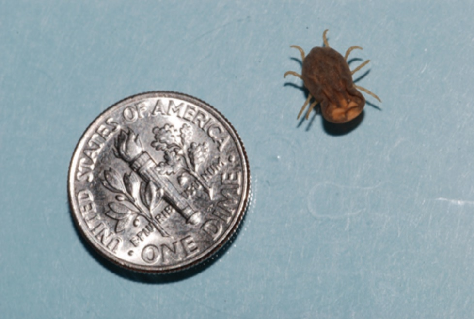 Spinose Ear Tick next to a dime.