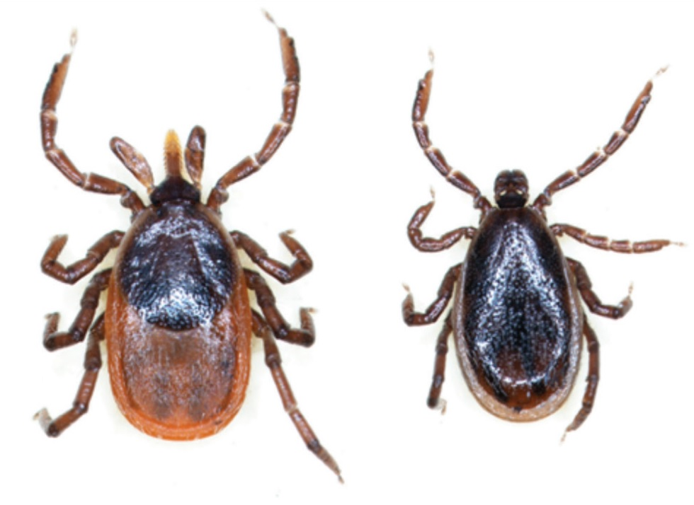 A male and female deer tick.