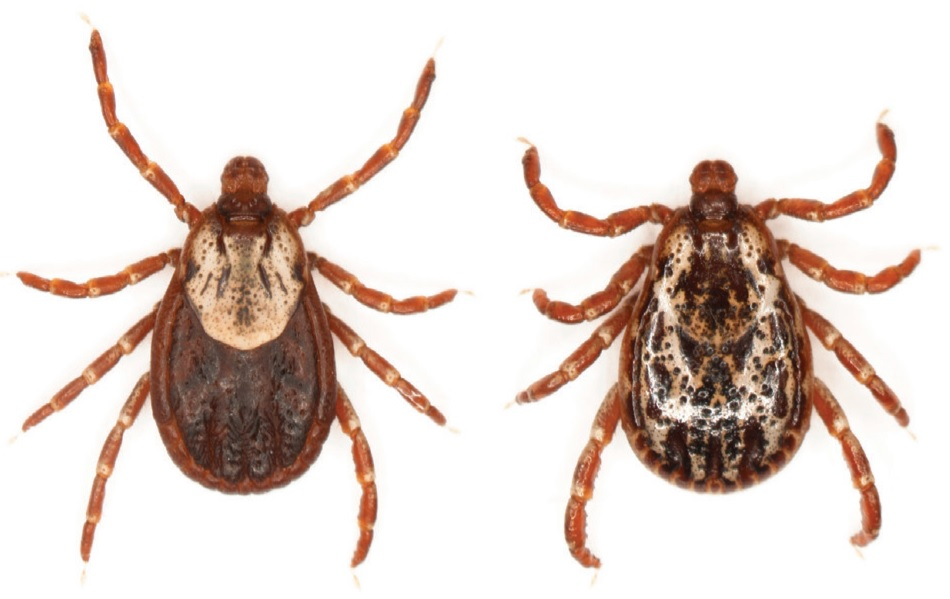 Two American dog ticks.