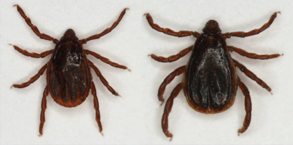 Two brown dog ticks.