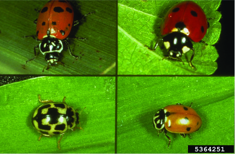 Four different species of lady beetles