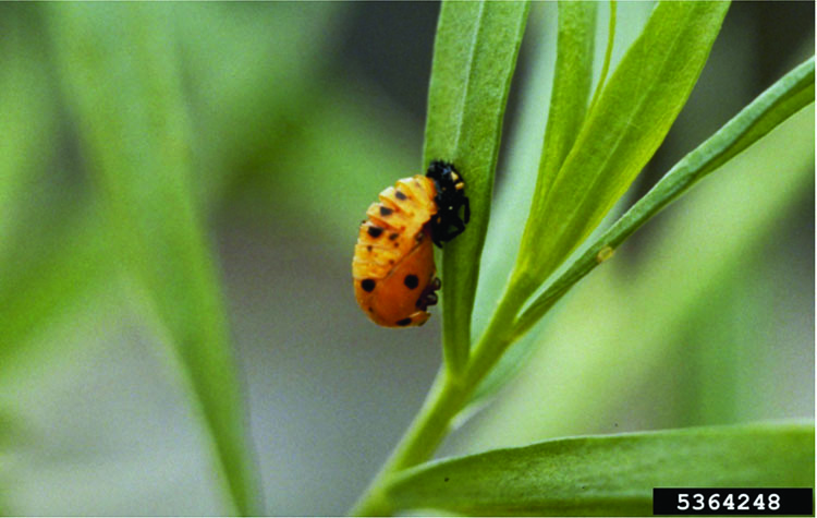 Yellow lady beetle on a leaf