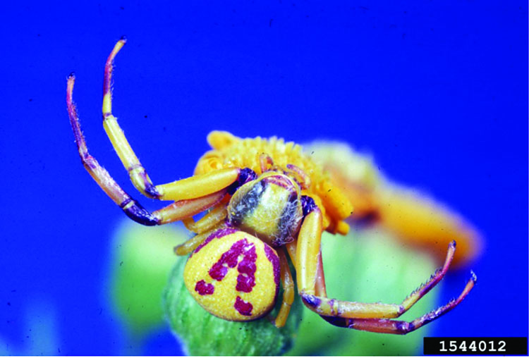 Crab spider on a flower bud