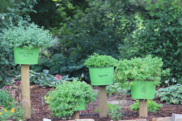 Mint garden in green containers