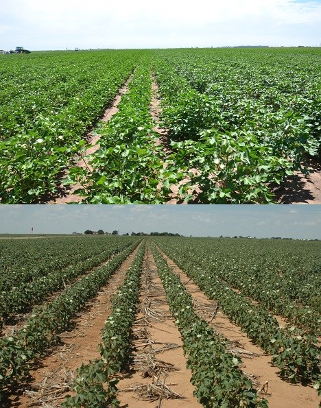 Comparison of cotton fields