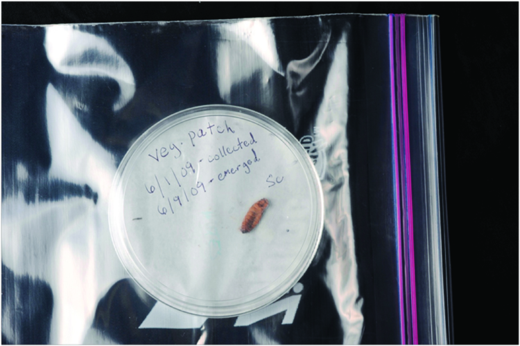 Covered dish containing infected waxworm cadaver, properly labeled with date and location information, placed inside a zipper-type freezer bag with the bag left partially open to allow airflow to the cadaver.