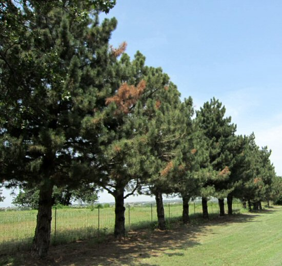 Several branches on the pine trees in this windbreak are flagging (wilting and browning) due to Diplodia tip blight and canker.