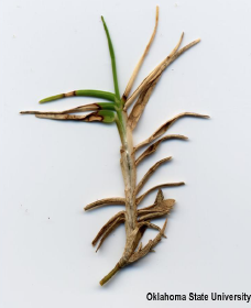 Leaf spot symptoms bleached leaves characteristic of dollar spot on bermudagrass.