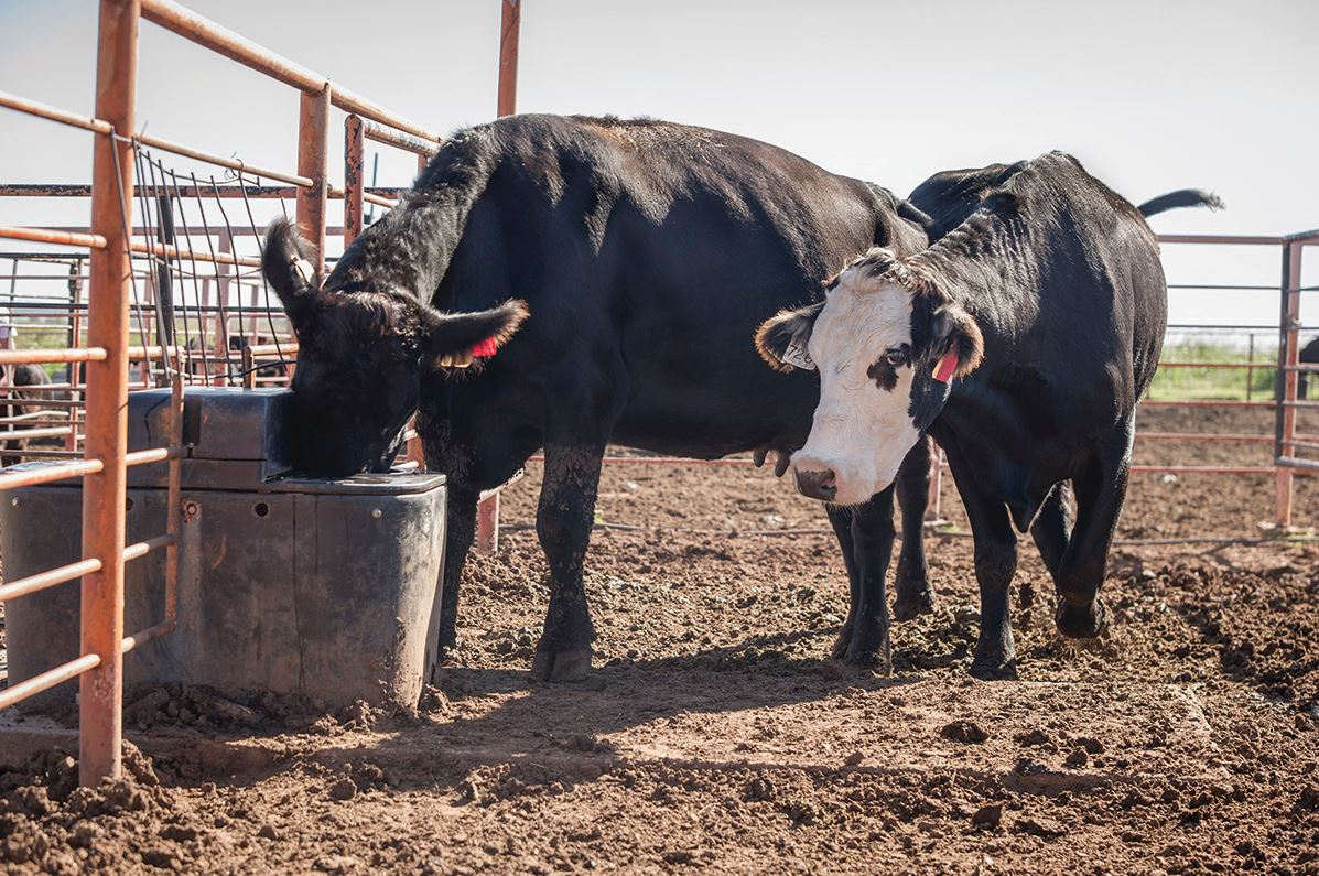 An abundant, clean, fresh water supply is an essential element of a beef cattle production system.