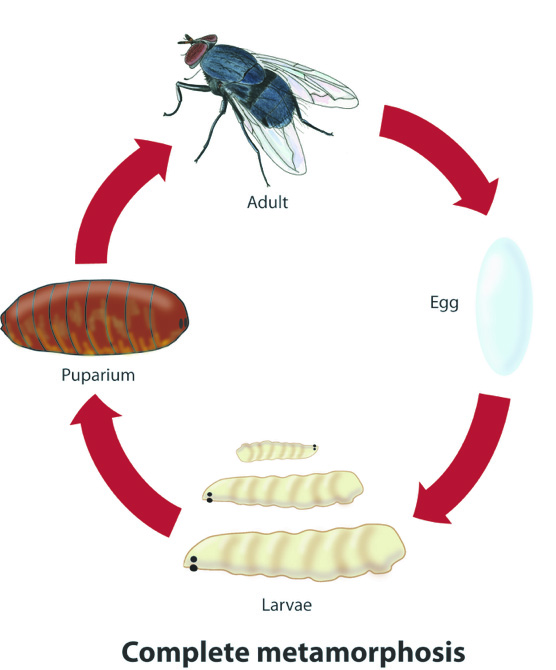 Illustration of a fly life cycle.