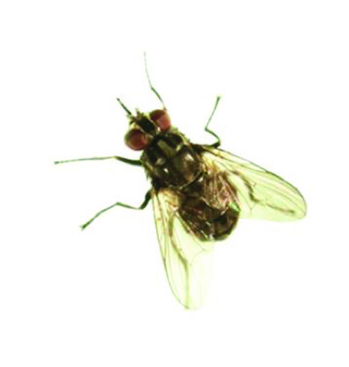 Adult stable fly.