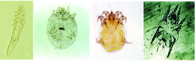 Goat follicle mite, scabies mite, psoroptic ear mite, and chorioptic scab mite are pictured.