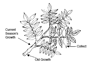 Arrows pointing to where the current season's growth, old growth, and where leaves should be collected on a pecan.