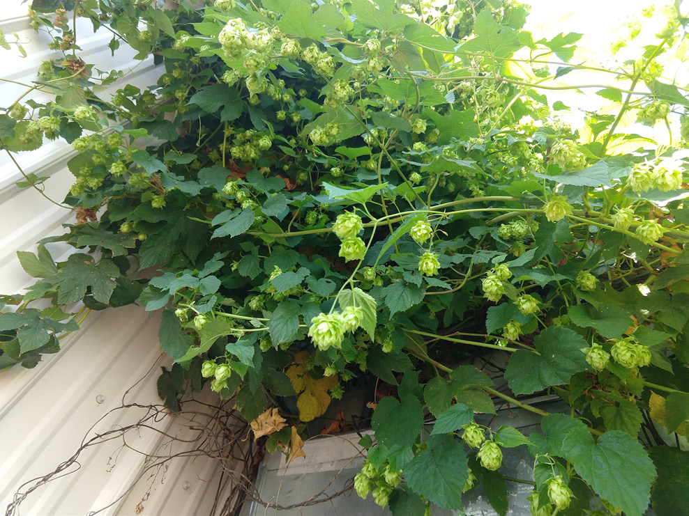 A green hop plant with green flowers.