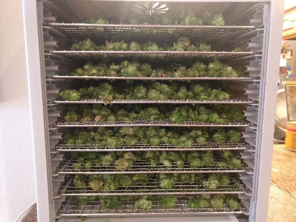 Havested hop cones in an electric dehydrator.