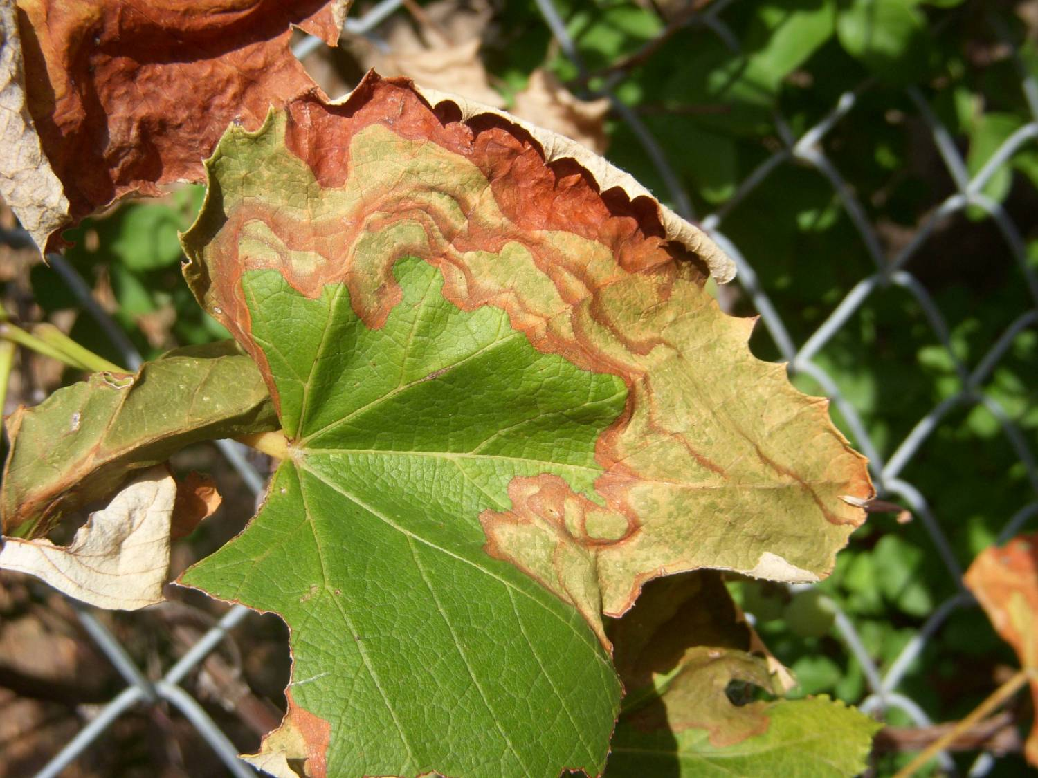 This is a photo of a plant with Pierce's disease.