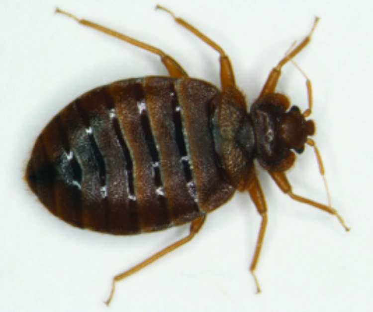 An adult bed bug.