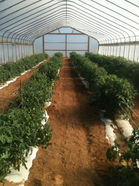 Tomato production in a high tunnel