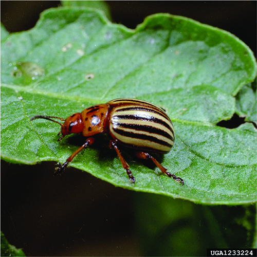 Adult Colorado Potato Beetle.