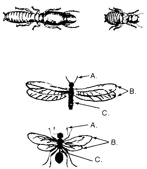 different types of termites which includes a wingless and winged soldier, and a wingless and winged worker.