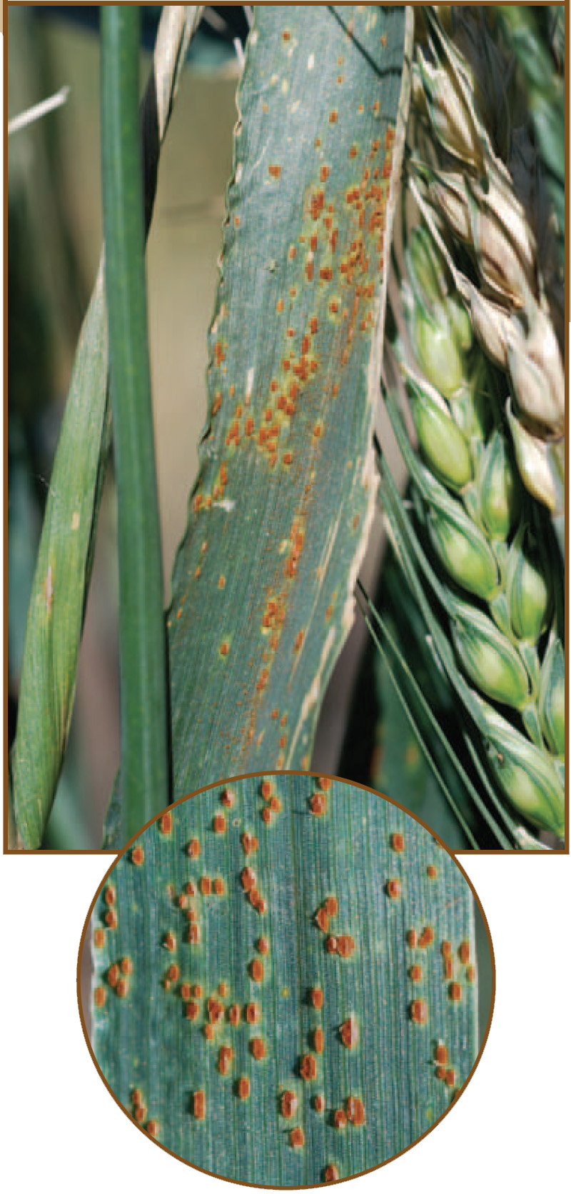An example of leaf rust.