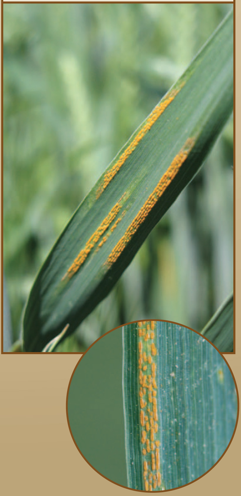 An example of stripe rust.