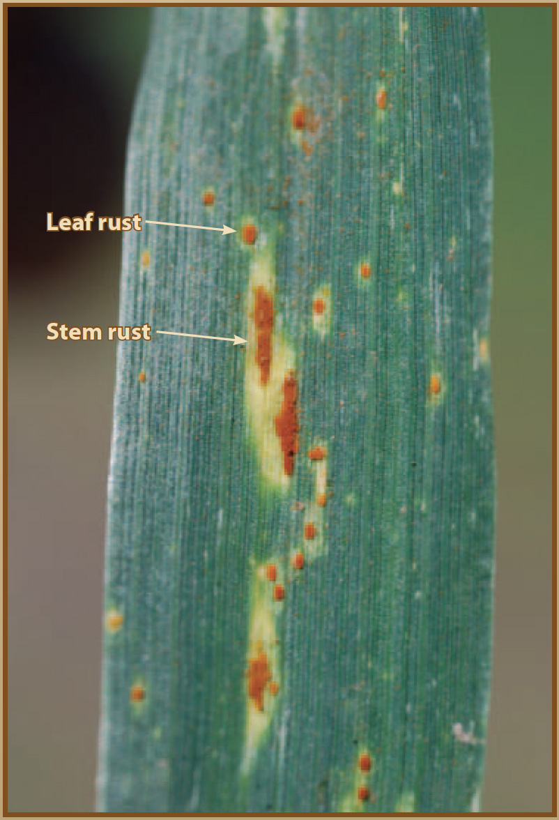 Leaf and stem rust.