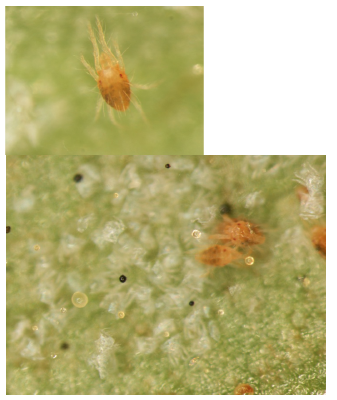 Two spotted spider mite on a canna leaf.