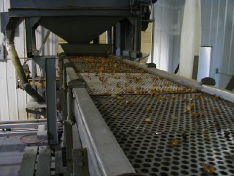 Pecans on a conveyer belt.