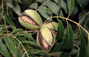 Shuck split signals pecans are ready to be harvested.