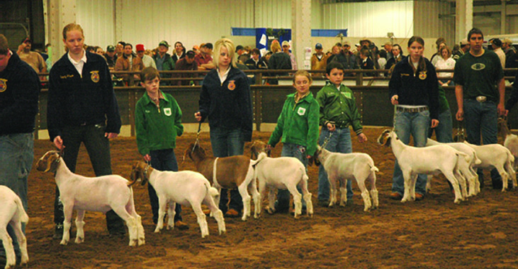 Goats on display at a show.