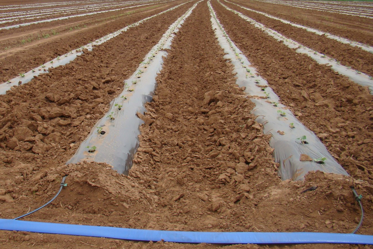 Drip irrigation and plastic-covered raised beds.