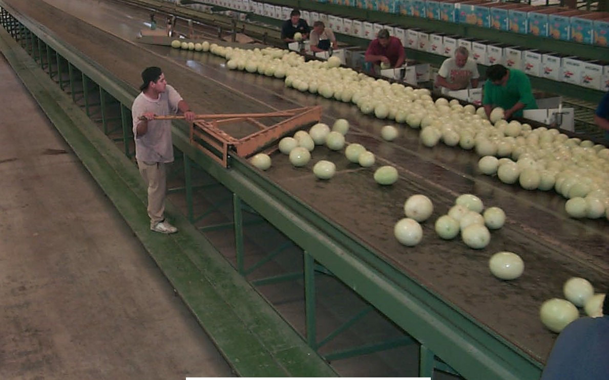Post-harvest handling of melons.