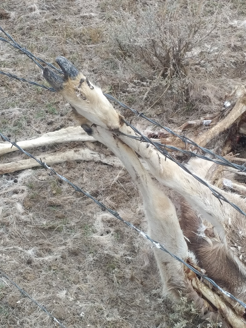 Loose wire is very dangerous for deer, elk and pronghorn.